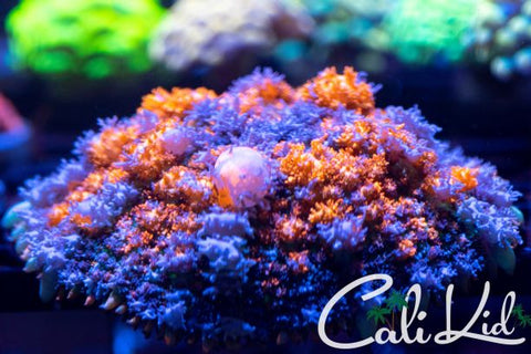 Cali Kid Ultra Rainbow Acan Mini Colony