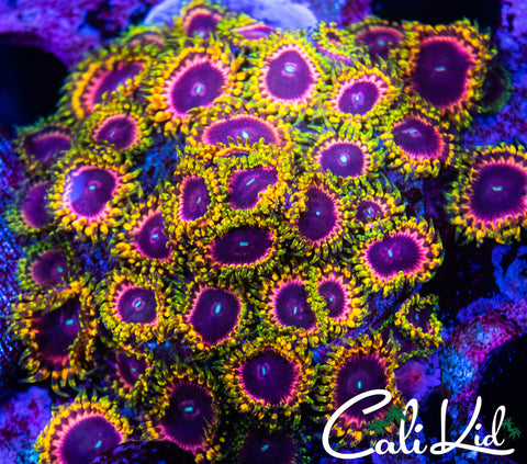 Cali Kid Soul Sucker Zoa