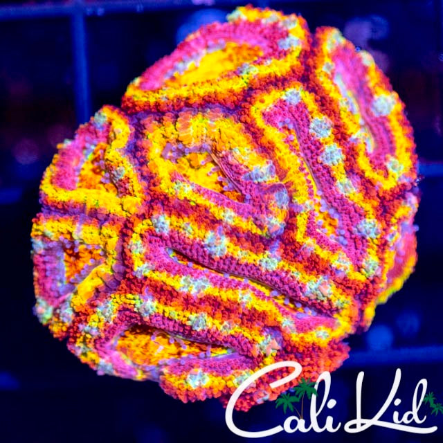Insane Rainbow Acan Colony