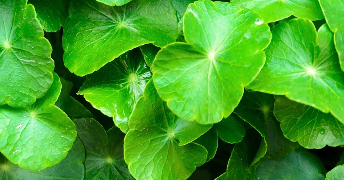 Ingredients We Love: Cica (Centella Asiatica)