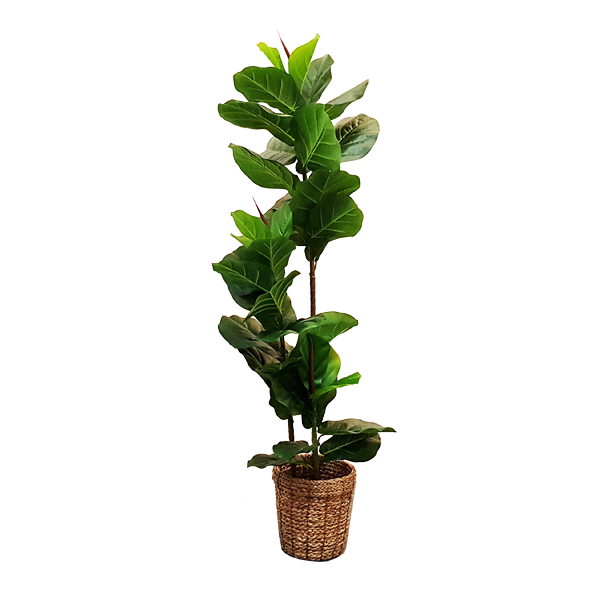RENT Faux Ficus Plant with Basket Pot 1440 H RENTAR0002GN