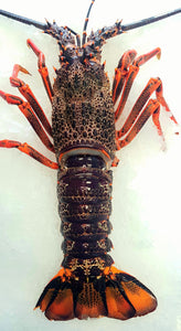 NZ WHOLE CRAYFISH 550-600g FROZEN