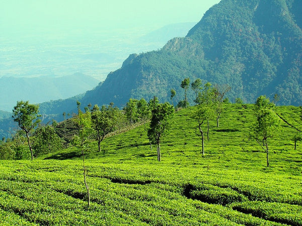 The Chai & Mighty List of Famous Darjeeling Tea Estates