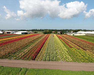 About the Grower: Canna Farm Van Haaster ('De Groeneweg' Nursery)
