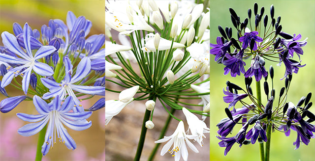 Plant Agapanthus for Summer Colour and Structure