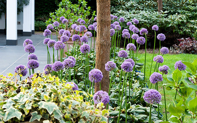 Allium Purple Sensation: A New Gardening Trend