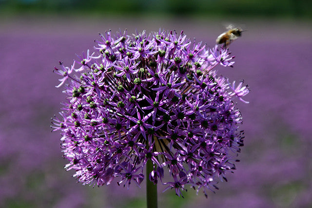Alliums! All about Allium Bulbs