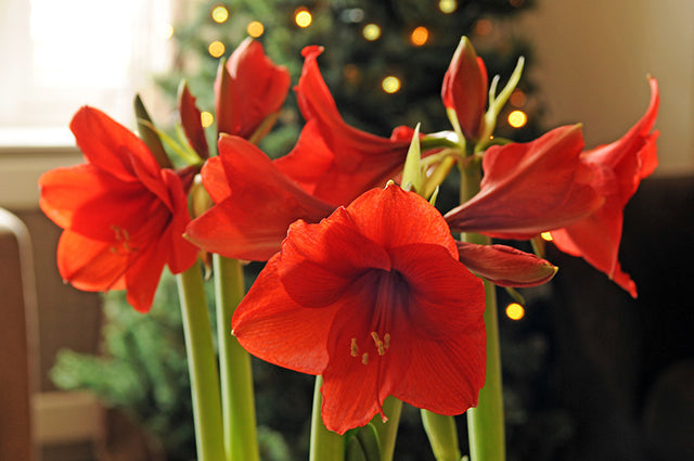 Amaryllis: The Bulb That Keeps Giving For up to 75 Years
