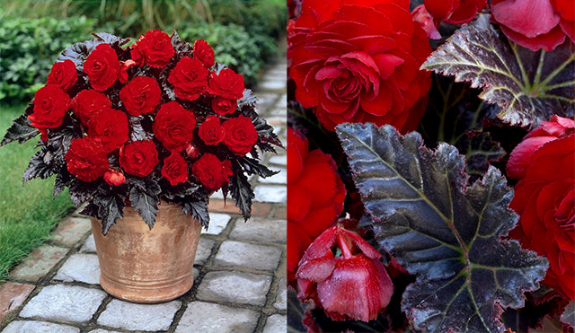 Begonia Switzerland: Near-Black Leaves & Deep Red Blooms