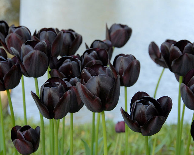 Black and Near-black blooms for lovers of the unusual