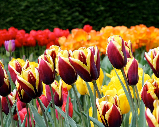 The best Tulip Bulbs come from the Netherlands – fact!