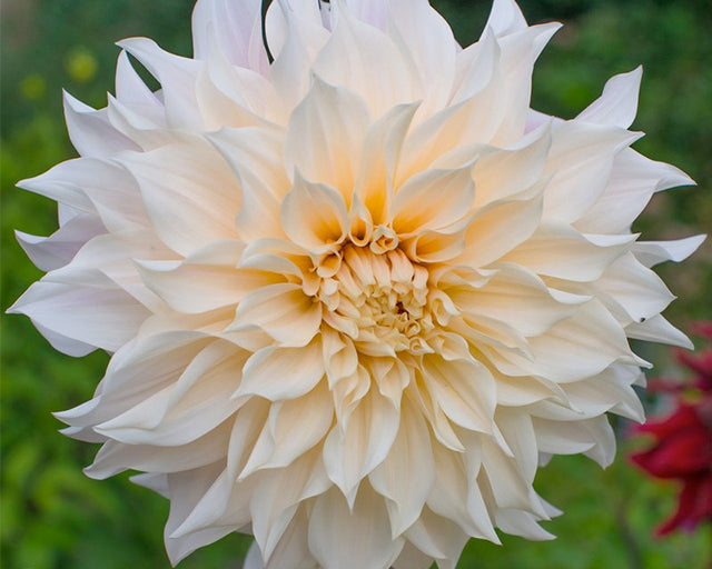 The Most Beloved Dahlia Ever: Café au Lait