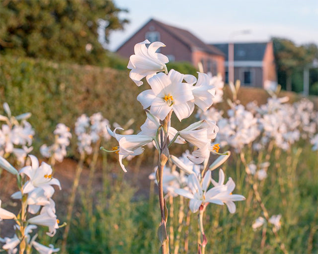 The Fascinating Story of the Madonna Lily (Lilium candidum)