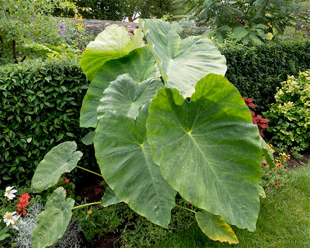 Tap in to the tropical trend with Colocasia!