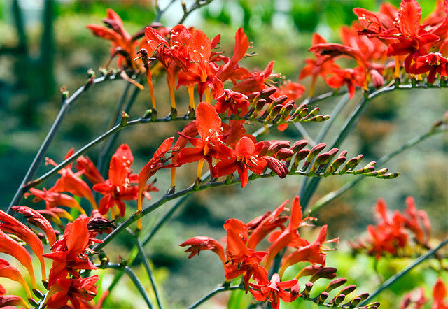 Crocosmia: a vibrant, easy to grow summer garden jewel