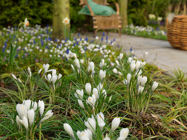 Crocus Bulbs: Growing and Forcing
