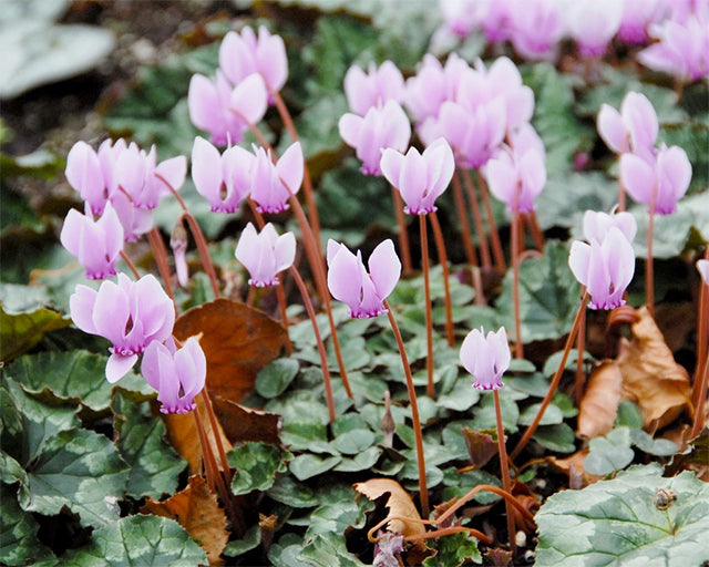 All about Cyclamen hederifolium
