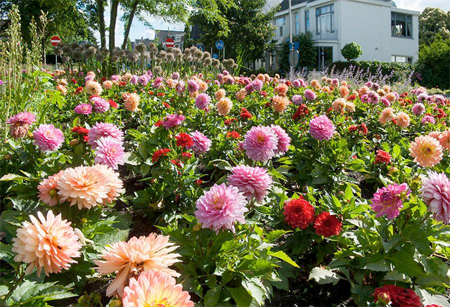 Dahlia Days: A guide through the world of dahlias