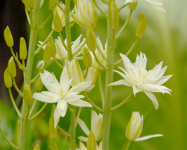 All about Camassia leichtlinii 'Semiplena'