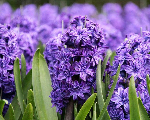 Double Hyacinths Make a Historic Comeback