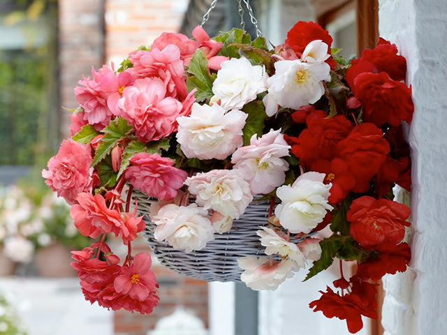 Fragrant Begonias for Scented Hanging Baskets