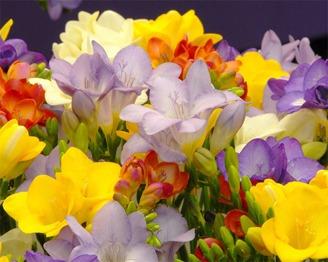 Freesias: Colourful & Fragrant Summer Garden Delight