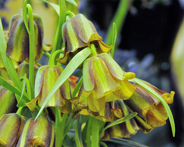 All about Fritillaria acmopetala