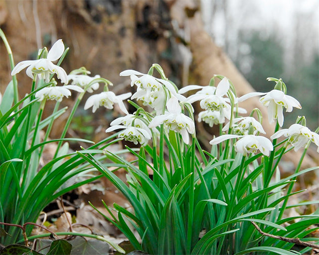 Gorgeous Snowdrops (Galanthus) to Fall in Love With