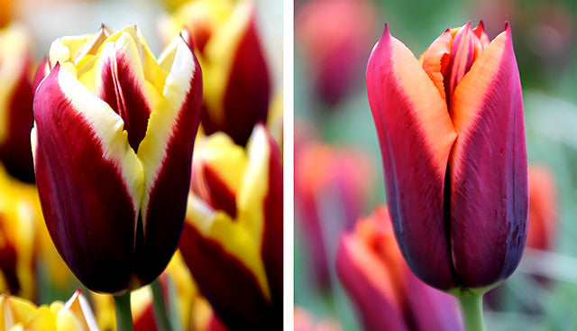 Tulip Gavota and Tulip Slawa - a Story to Tell
