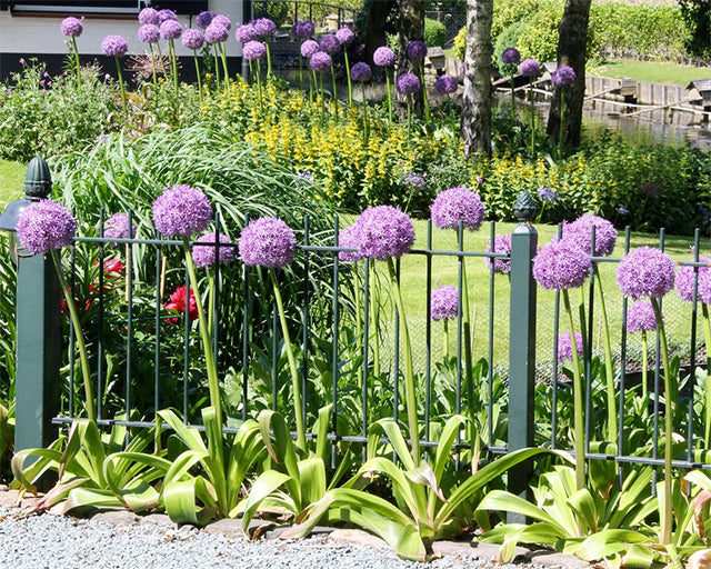 The four most impressive Giant Alliums for your Garden