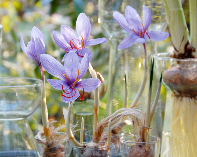 Flower Bulbs to grow indoors in Autumn & Winter