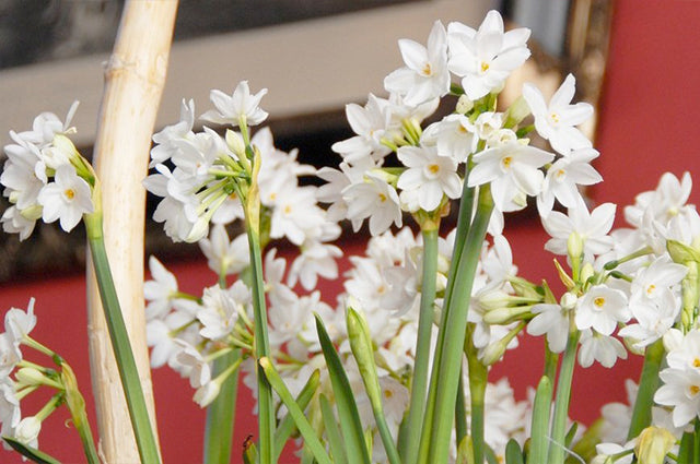Best bulbs suitable for Indoor Forcing