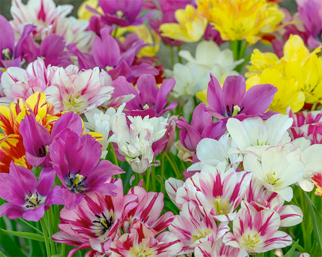 Multi-Flowering Tulips: Bouquets of Blooms