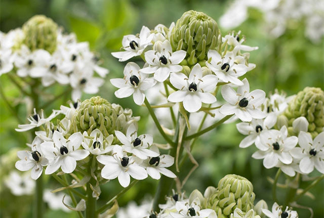 Ornithogalum: the must-have garden plant you didn't know about