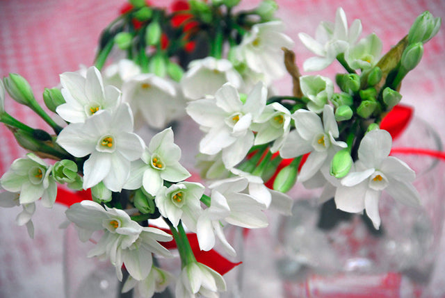 Growing Paperwhite Narcissi: A Worldwide Favourite