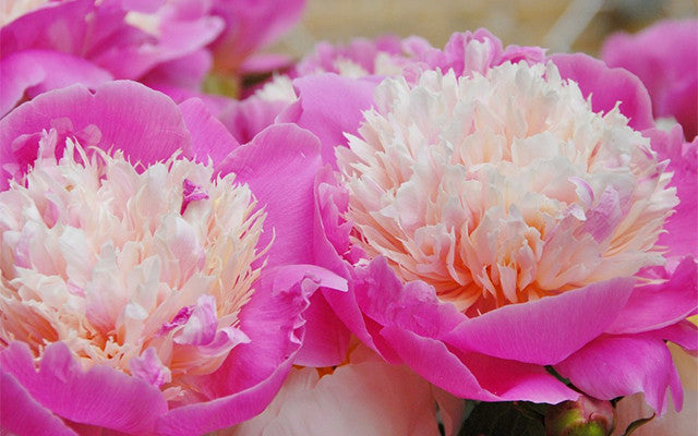 Peonies! All about Peony Bare Roots