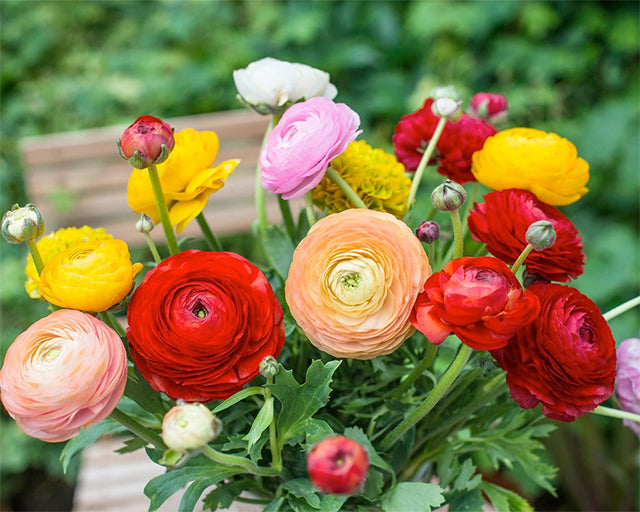 Ranunculi! All About Growing Ranunculus Bulbs