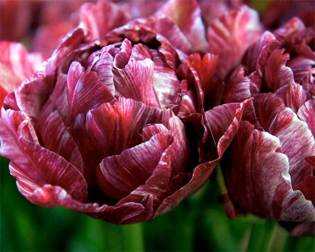 All about Tulip 'Nachtwacht' (Night Watch)