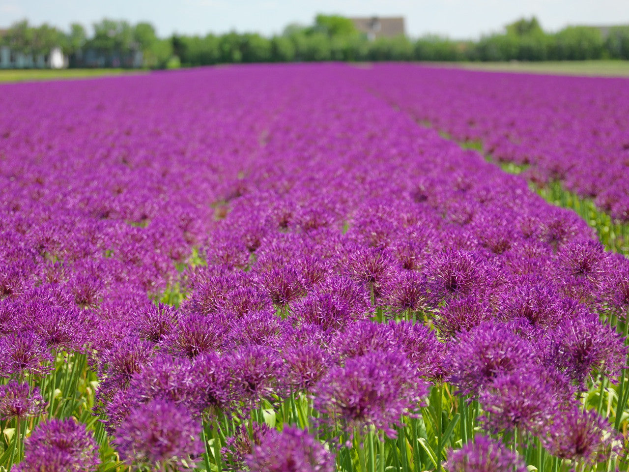 Allium bulb fields