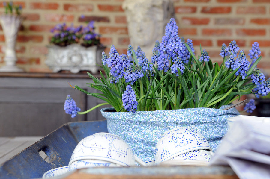 Grape Hyacinth Bulbs in container