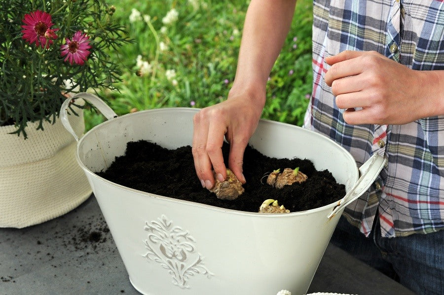 Planting Calla bulbs in pots