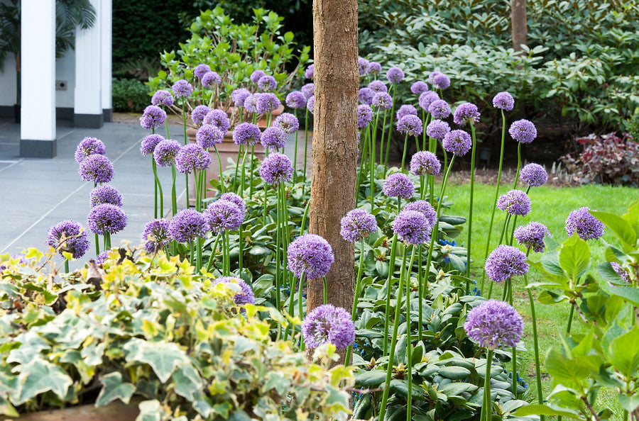 Purple Allium bulbs