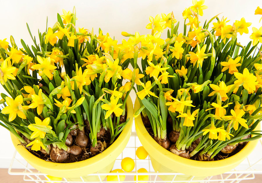 Planting Narcissus Tete a Tete in a pot