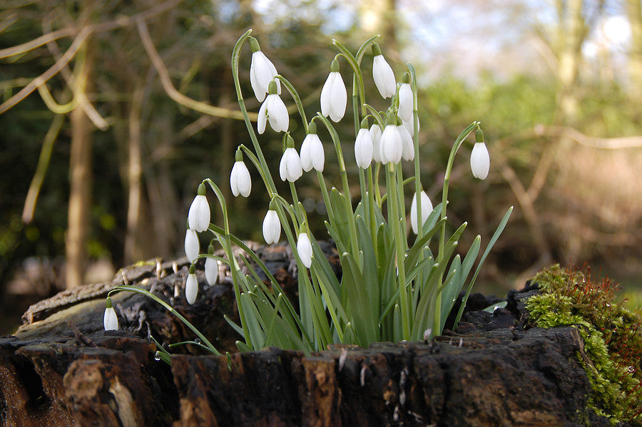 Galanthus bulbs
