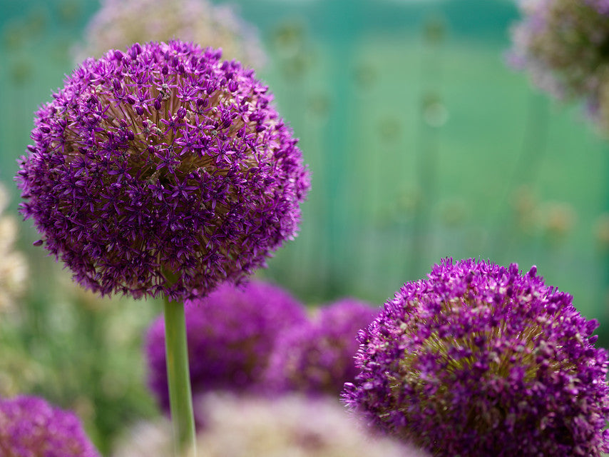 Purple Sensation bulbs