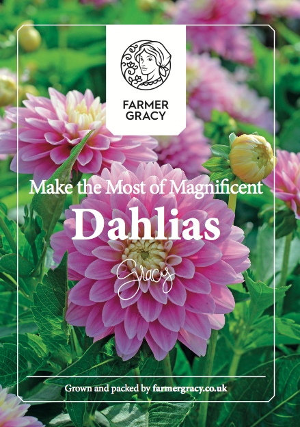Dahlia Tubers Growing Instructions