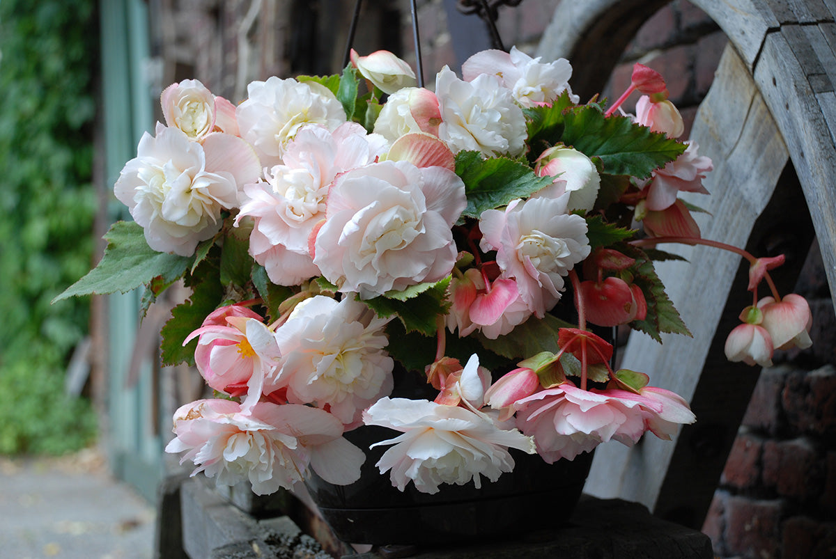 Fragrant Begonia Bulbs