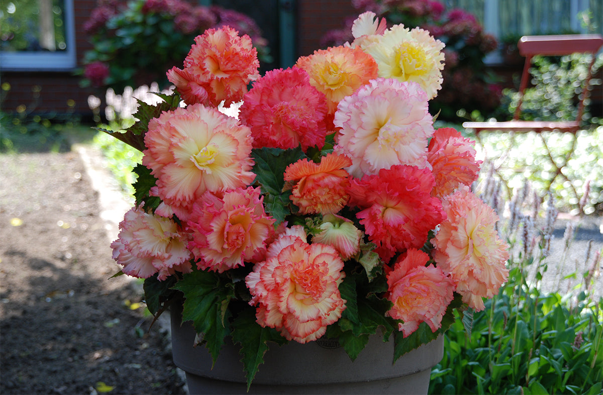 Samba Begonia Bulbs