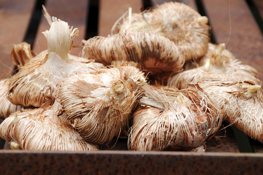 Abyssinian gladiolus corms