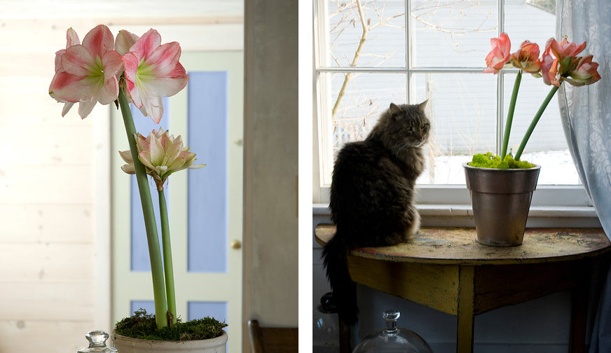 Grow Amaryllis indoors